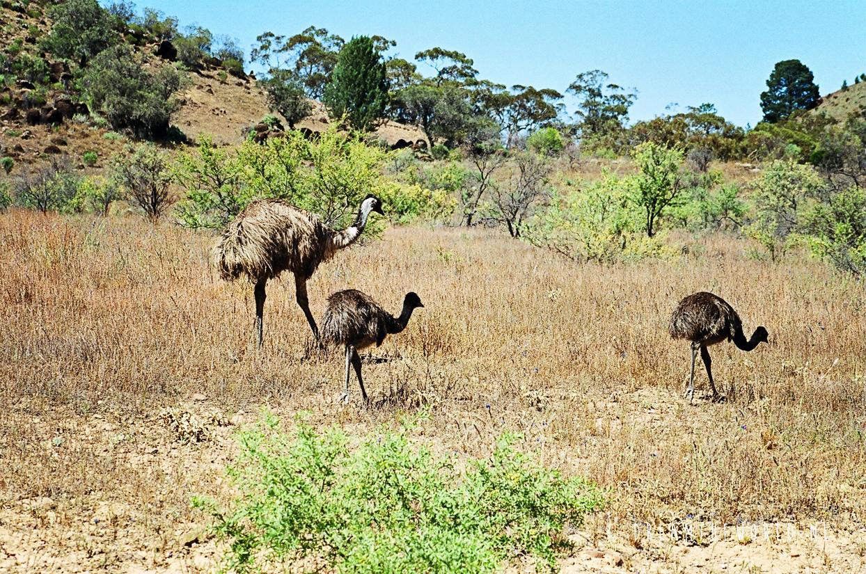 Emoes Flinders Ranges