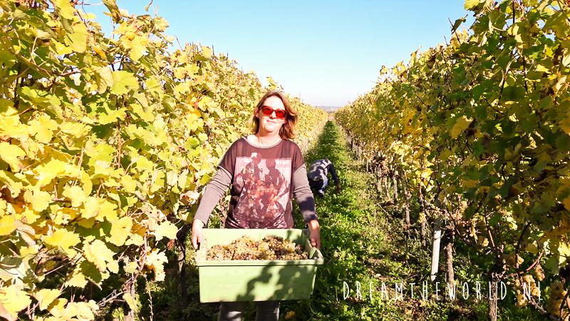 Druiven plukken Limburg outdooractiviteit Nederland