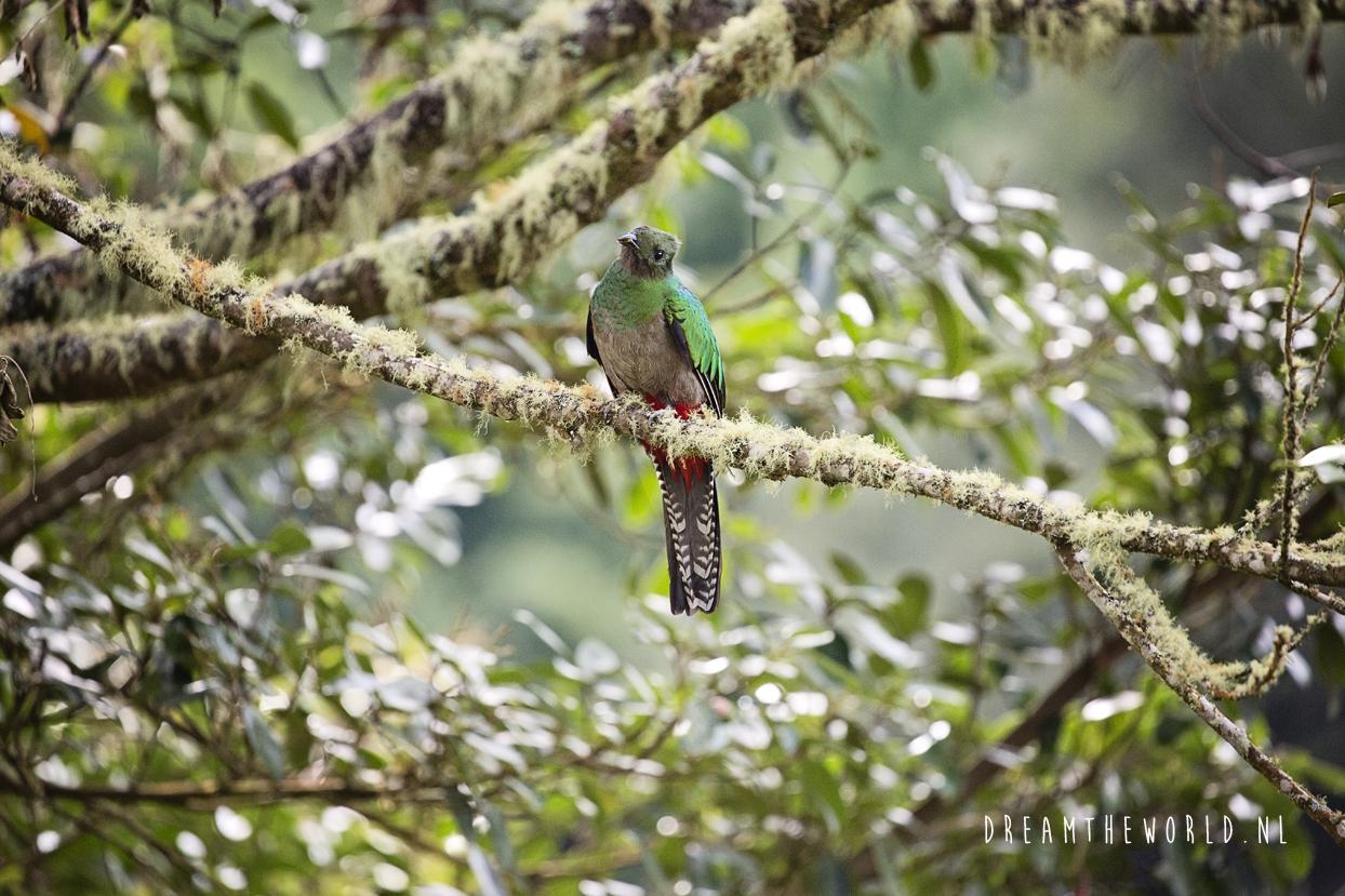Quetzal San Gerado de Dota Costa Rica