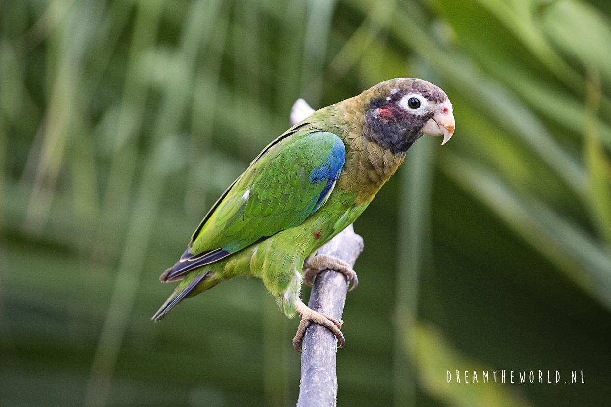 Boca Topada Costa Rica parkiet
