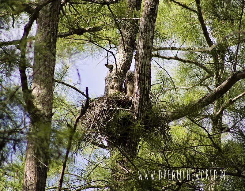 Nest buizerds Corkscrew Swamp Sanctuary in Florida