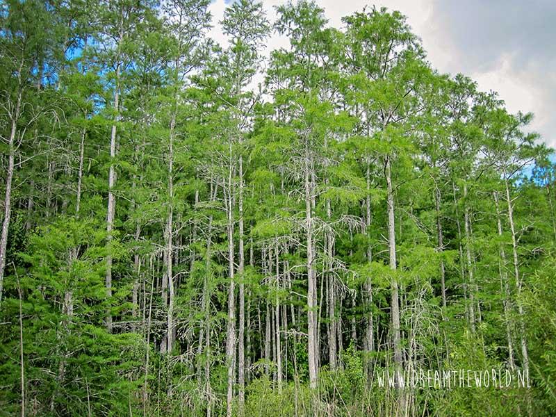 Bomen Corkscrew Swamp Sanctuary in Florida