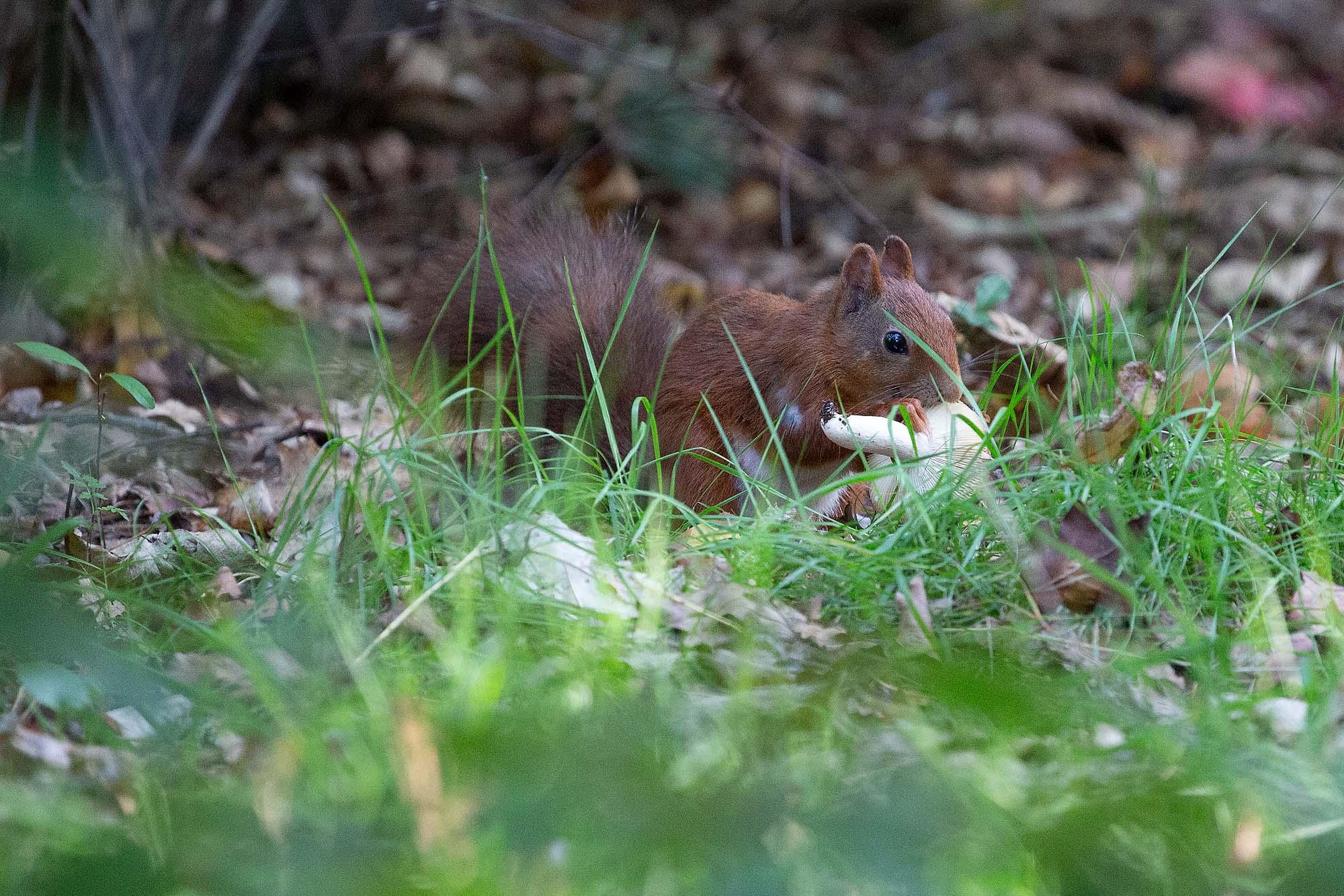 Eekhoorn op Landal Twenhaarsveld