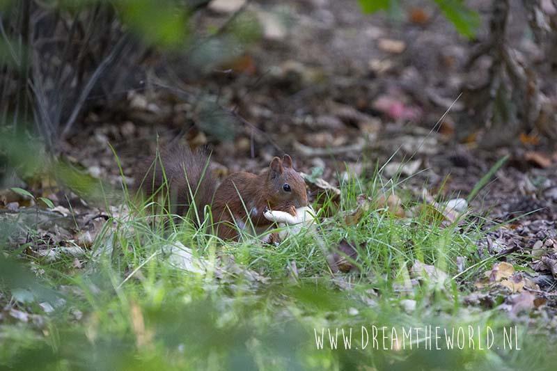 Eekhoorn natuur Landal Twenhaarsveld