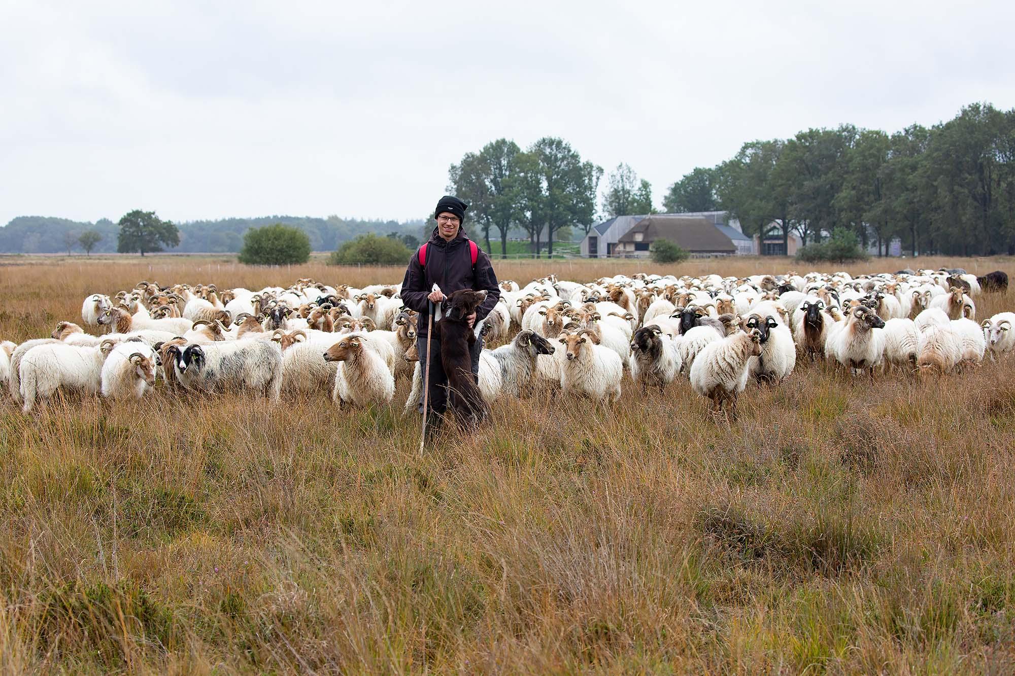Drentse heideschapen en herder Dwingelderveld Ruinen