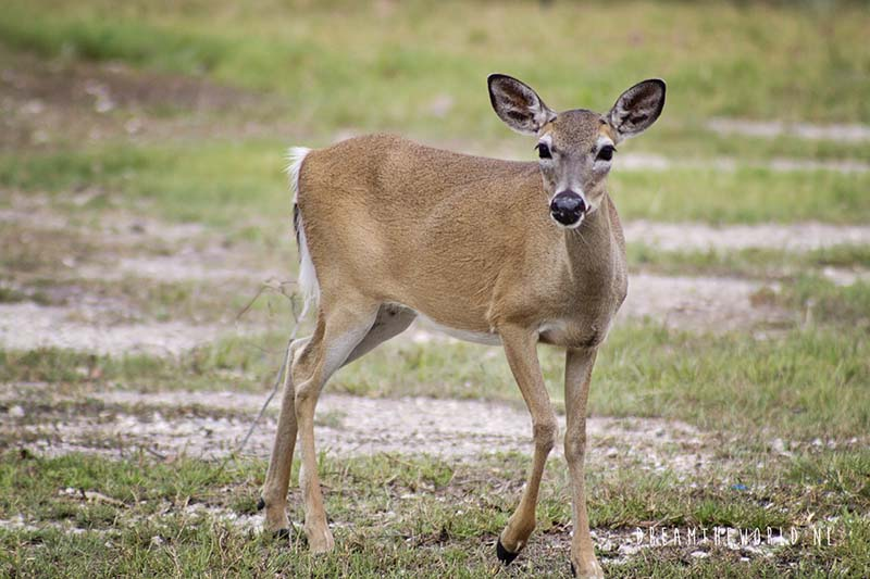 Key deer Florida