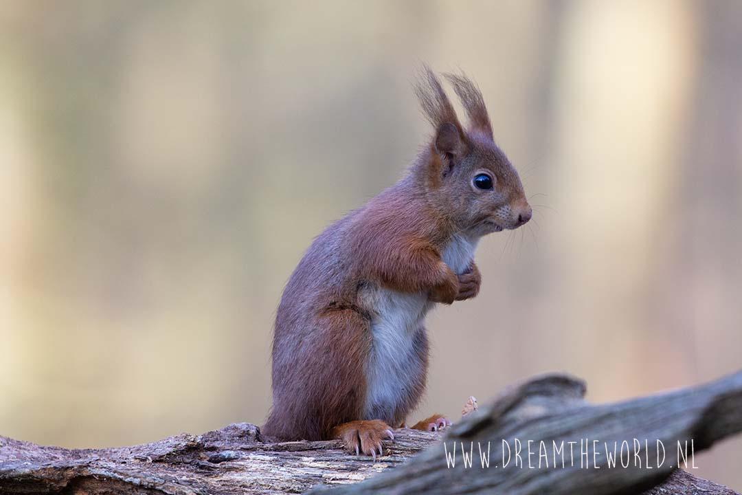 Eekhoorn Clinge