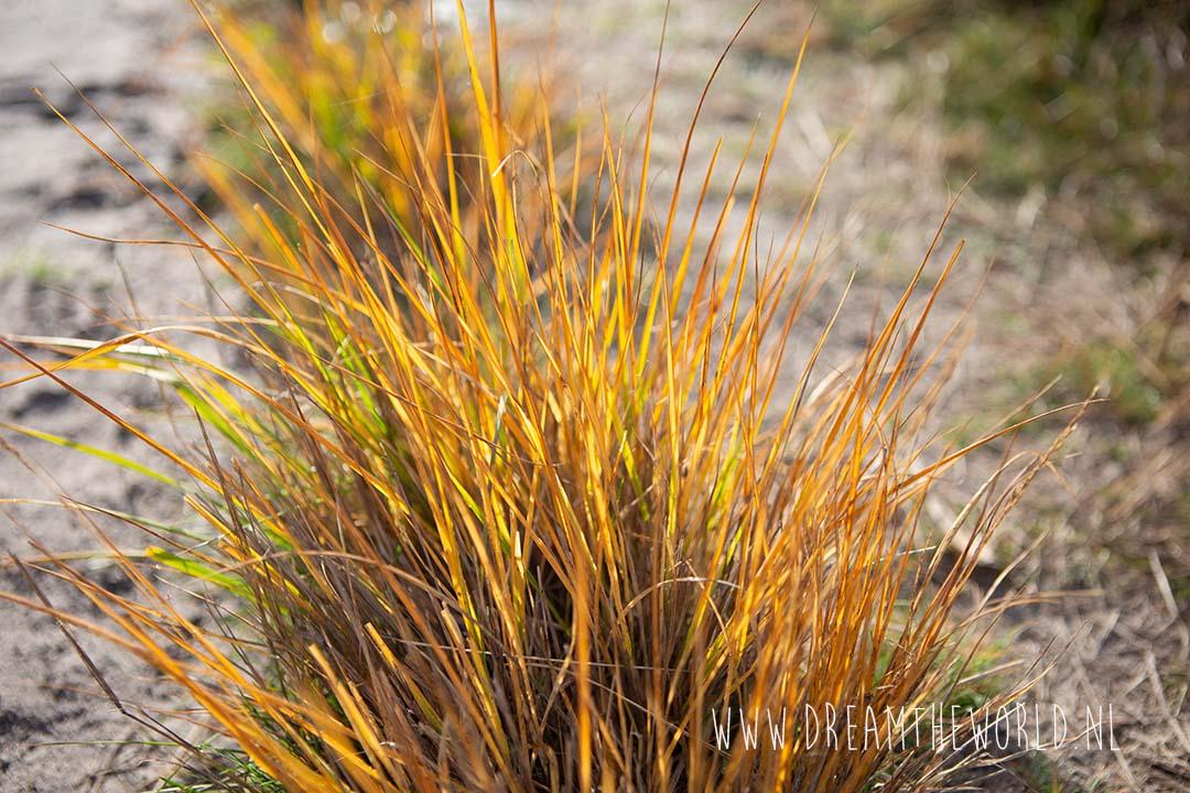 Grassen in Kalmthoutse heide