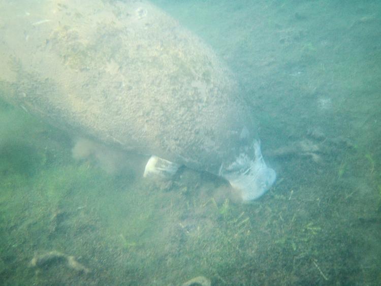 Zwemmen met Manatees Florida