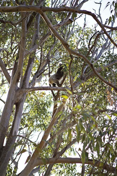 koala West Australië