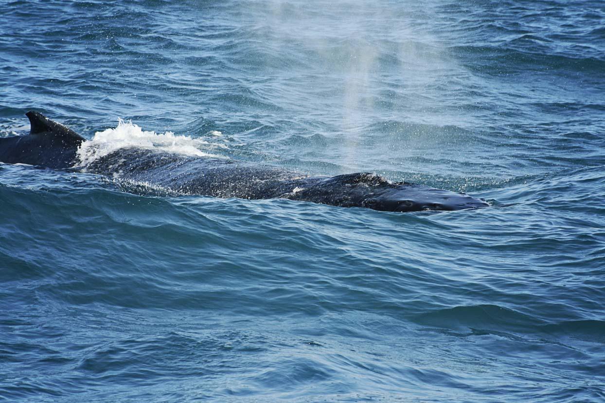 Walvissen spotten in Hervey Bay
