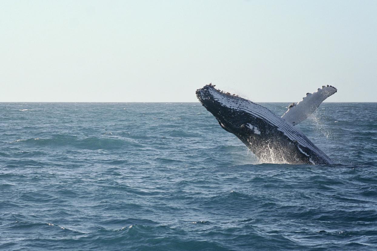Walvis bij Hervey Bay