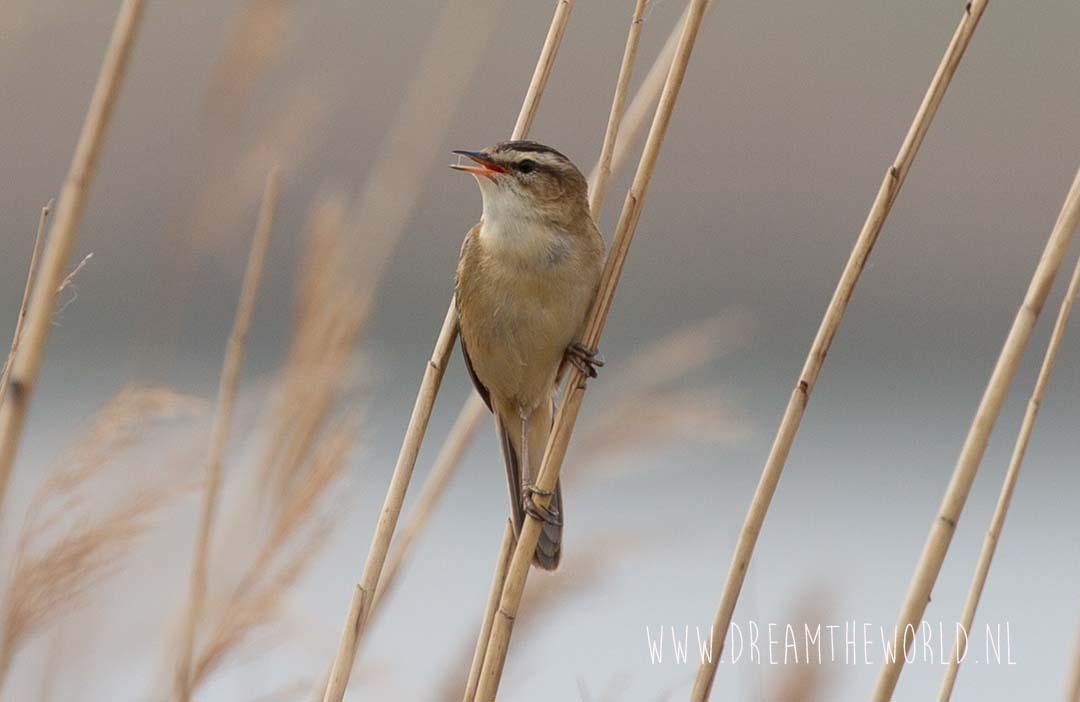 Vogels spotten en fotograferen in Zeeland rietzanger