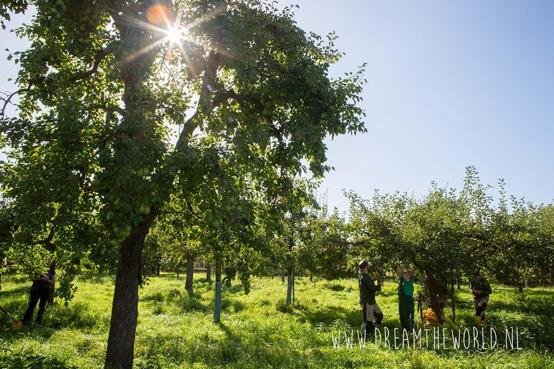Appels-en perenboomgaarden langs de Kromme Rijn