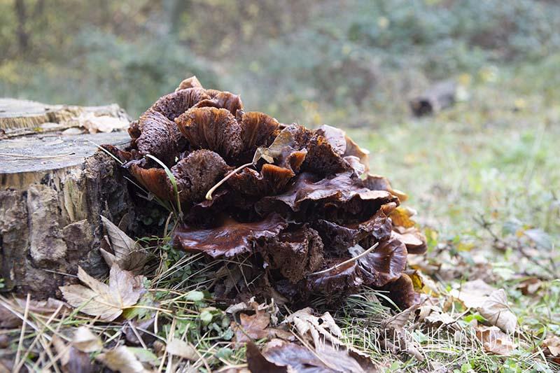 paddenstoel Oranjezon