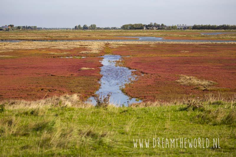 Rode zeekraal aan de zuidkust van Schouwen-Duiveland