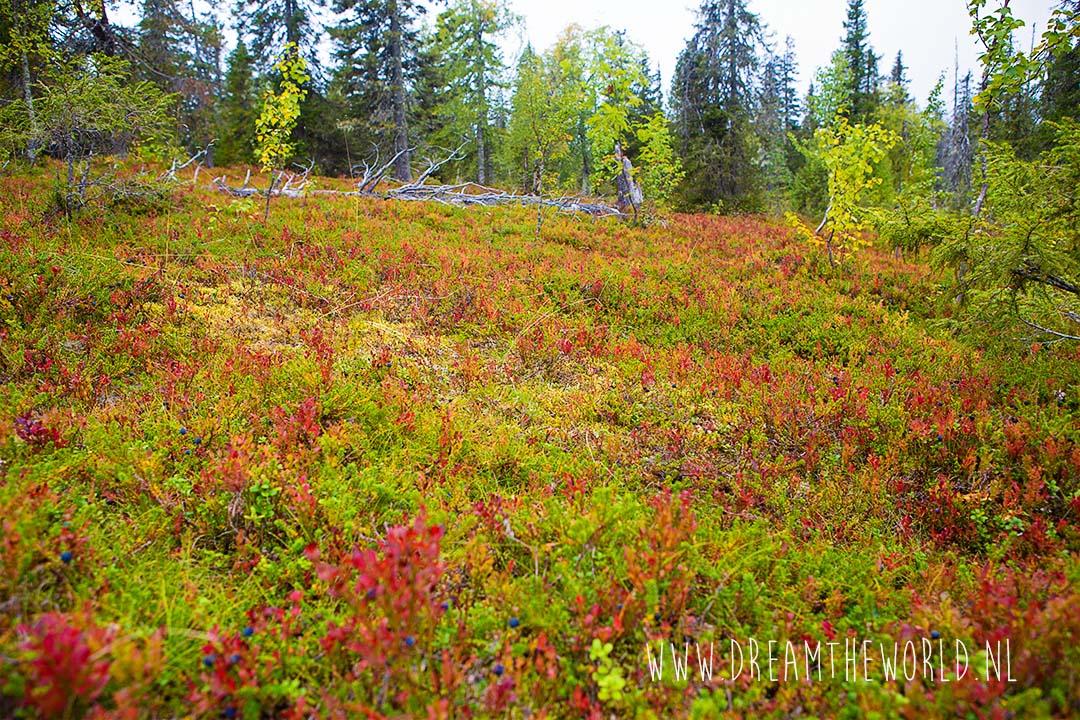 Bosbessen Riisitunturi NP Fins Lapland