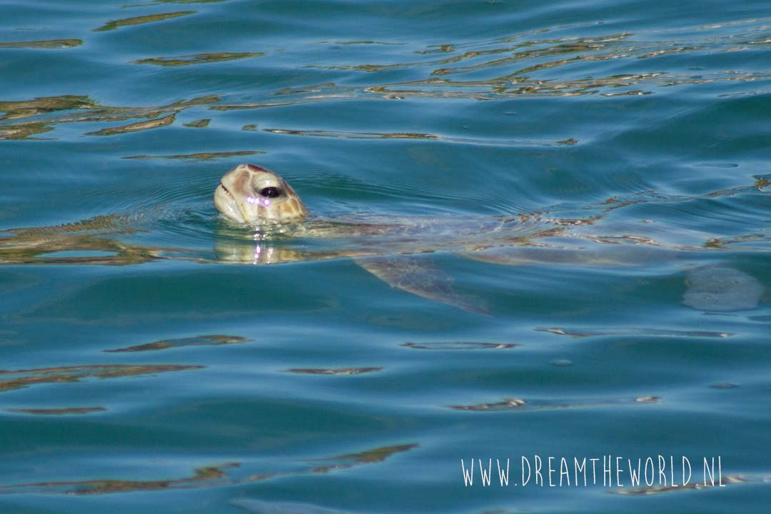 Shark Bay schildpad