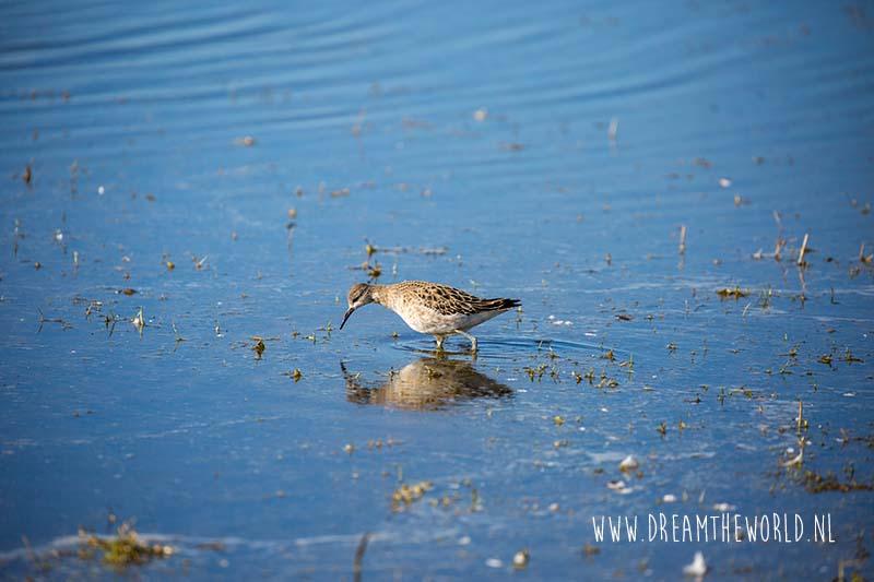 Vogels spotten en fotograferen in Zeeland Kemphaan