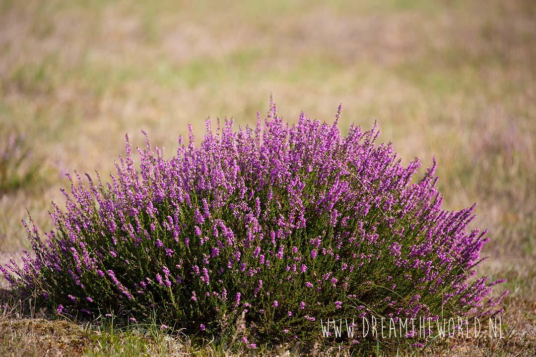 bloeiende heide in Nederland
