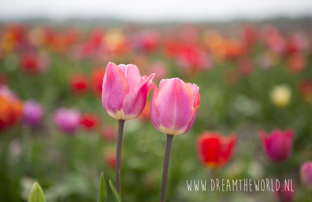 Tulpenveld Zeeland Mariekerke