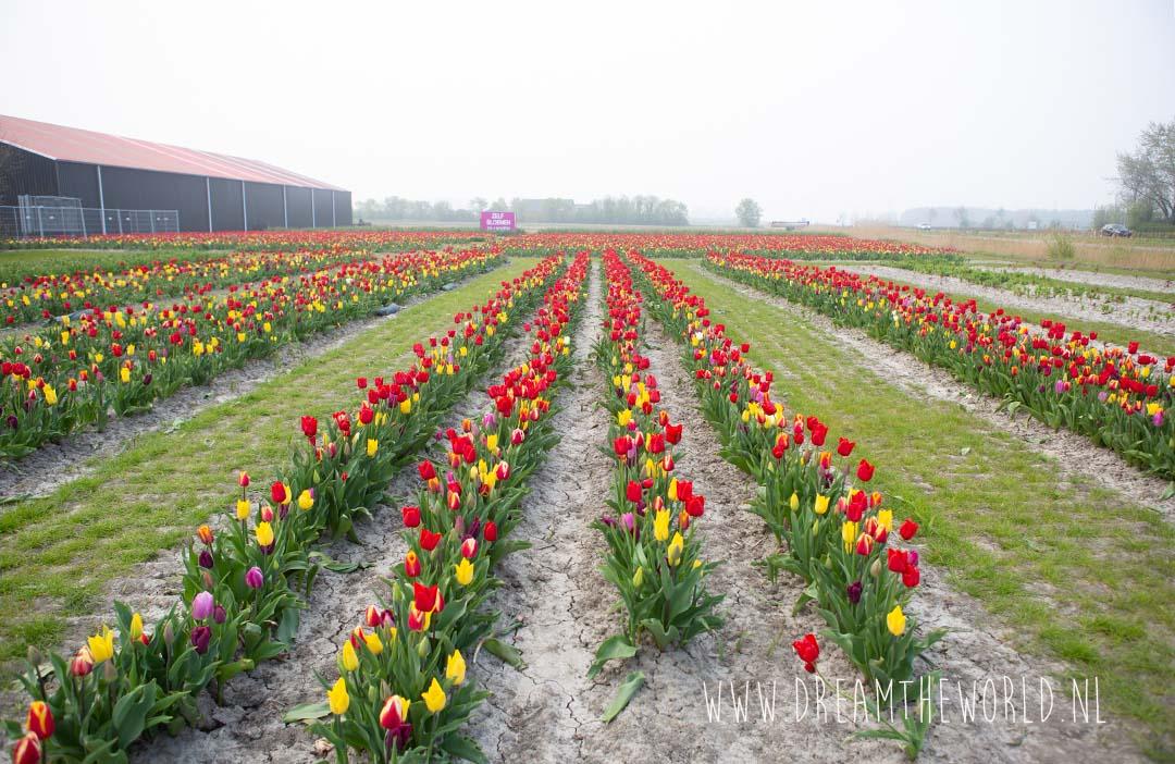 Tulpenvelden Zeeland